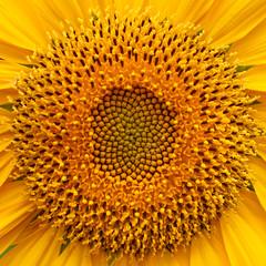 20210225_4803_1D3-65 Sunflower Centre (056/365)