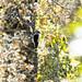 Hairy Woodpecker on oak