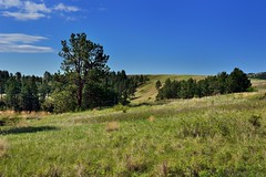 Rolling Hillsides of Prairie Grasses and Ponderosa Pines (Wind Cave National Park)