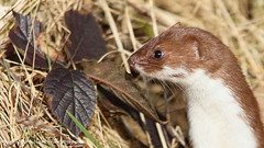 Photo of Stoat, Erskine, Scotland.