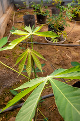 Cassava Program of CIAT in Vietnam (Lab)