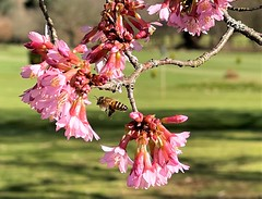Photo of Bees about on the tree with pink blossoms in the countryside near The Royal Masonic School for Girls, Rickmansworth, Herts. UK 2021.