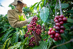 Coffee plantations in the Central Highlands of Vietnam