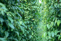 Pepper Plantations in the Central Highlands of Vietnam