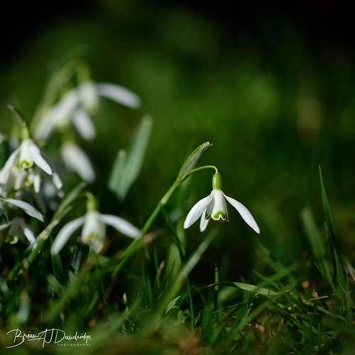 A Perfect  Snowdrop stands out from the crowd