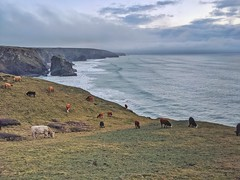 Photo of Cows of Bedruthan Steps Bedruthan Steps West Cornwall (Newquay to Falmouth)  photo by Luke Hardaker