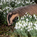 Badger in a patch of snow drops