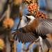 Chestnut-Backed Chickadee on Liquidamber/Sweetgum
