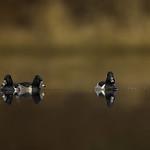 Three amigos - Ring necked Ducks