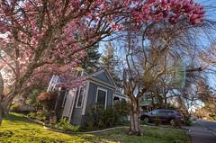 Magnolias in Ukiah, California (Explored)