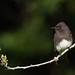 Black Phoebe on Branch Swing