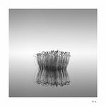 wavering reeds in calm waters