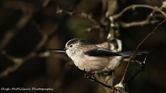 Photo of Long tailed tit