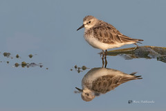 A Little Stint working for its breakfast the morning