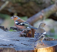 Photo of Chaffinches
