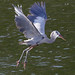 Great Blue Hereon