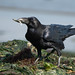 Common Raven Foraging in Seaweed