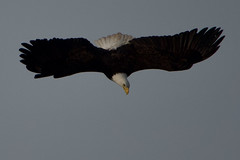 Bald Eagle duck hunting 03151