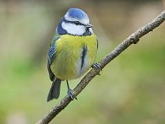 Photo of Blue tit