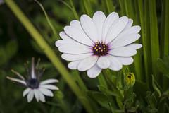 Osteospermum Astra White