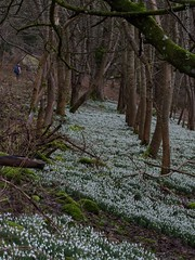 Photo of 2021 02 20 - Moncrieffe snowdrops #1
