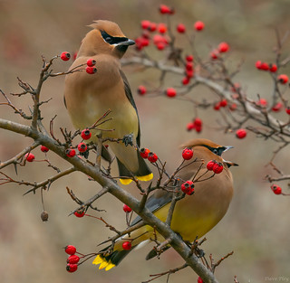 Cedar waxwing couple