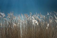 Photo of Sunlight through reeds-7467