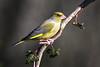 Male Greenfinch (Chloris chloris)