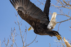 Series 1 - Bald eagle launch - 4 of 6