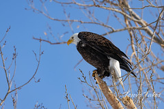 Series 1 - Bald eagle launch - 1 of 6