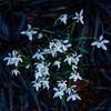Snowdrop (Galanthus) and Black Grass