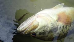 Juvenile and Adult Bass