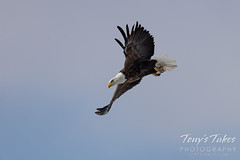 Series 3 - Bald eagle launch sequence - 2 of 4