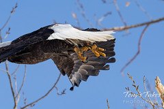 Series 1 - Bald eagle launch - 5 of 6