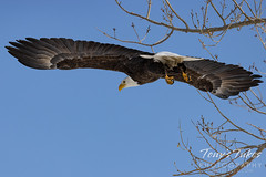 Series 1 - Bald eagle launch - 6 of 6