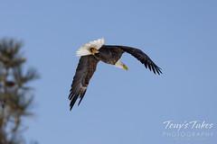 Bald eagle departure series