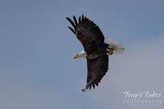Series 3 - Bald eagle launch sequence - 4 of 4