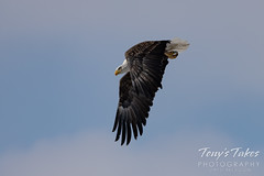 Series 3 - Bald eagle launch sequence - 3 of 4