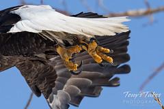 Bald eagle talon closeup