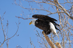 Series 1 - Bald eagle launch - 2 of 6