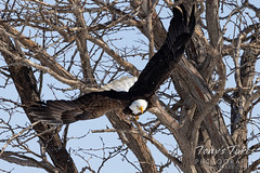 Series 2 - Bald eagle launch sequence - 2 of 4