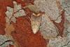 28.024 Tachystola acroxantha, Kilminning, Fife