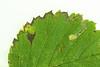 4.043 Stigmella lemniscella, Kinghorn Loch, Fife