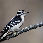 Downy Woodpecker female by Jackie B. Elmore 2-2-2021 Jefferson Co. KY thumbnail