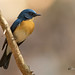 A Tickell's Blue Flycatcher cautiously watching the action