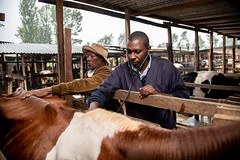 The local vet visits Sylvia Kiruja's dairy farm in Meru, Kenya.