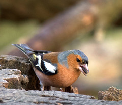 Photo of Male Chaffinch aa
