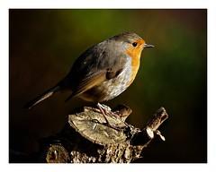 Photo of Robins
