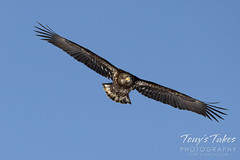 Young bald eagle in pursuit