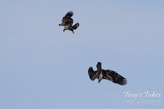 Young bald eagles duel in the air